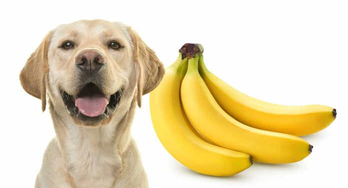 Can dogs eat Banana? How many bananas can i give to my dog?