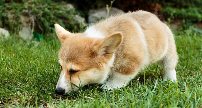 why do dogs roll in to poop