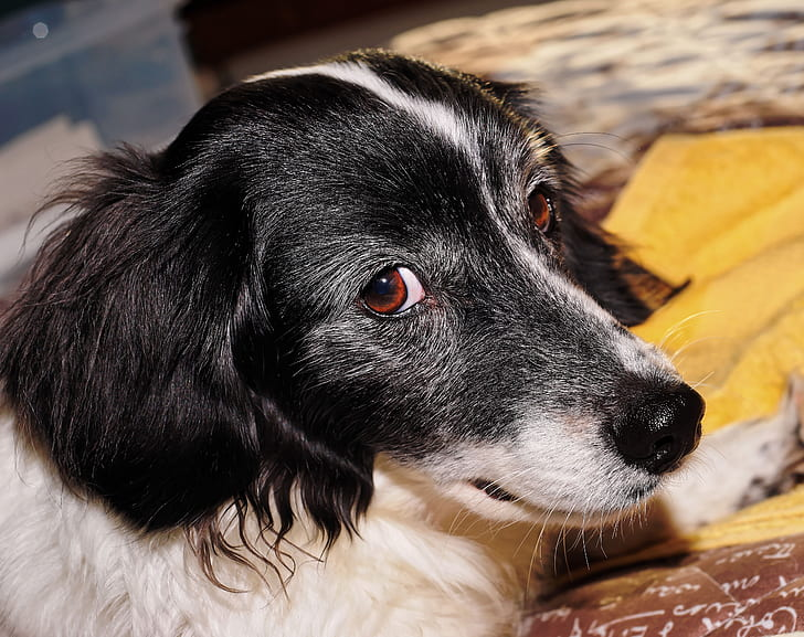 Pancreatic cancer in dogs